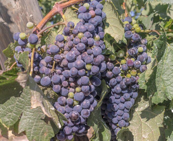 Kardec e o Vinho